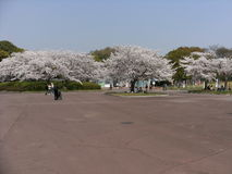 Freizeitweg im grünen Park mit weißer Kirschblüte Lizenzfreie Stockfotografie