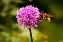 Frelon attaquant une abeille de gaffer Photographie stock libre de droits