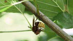 Frelon européen (crabro de Vespa) antidatant un occidental ou un Européen Honey Bee (mellifera d'api) banque de vidéos