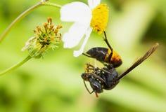 Frelon mangeant l'abeille sur la fleur photos libres de droits
