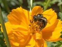 Frelon noir suçant le nectar Photos stock