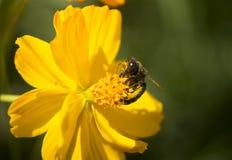 Frelon noir suçant le nectar Images libres de droits