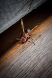 Frelon sur une table en bois Photos stock