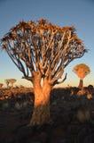 Fremi l'albero (dichotoma) dell'aloe, Namibia Immagine Stock Libera da Diritti