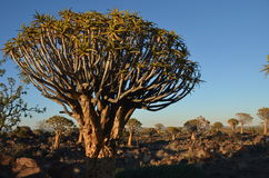 Fremi l'albero (dichotoma) dell'aloe, Namibia Fotografie Stock Libere da Diritti