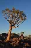 Fremi l'albero (dichotoma) dell'aloe, Namibia Immagine Stock