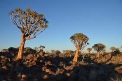 Fremi l'albero (dichotoma) dell'aloe, Namibia Immagini Stock Libere da Diritti