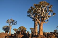 Fremi l'albero (dichotoma) dell'aloe, Namibia Fotografia Stock Libera da Diritti