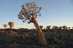 Fremi l'albero (dichotoma) dell'aloe, Namibia Fotografie Stock
