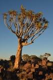 Fremi l'albero (dichotoma) dell'aloe, Namibia Immagini Stock