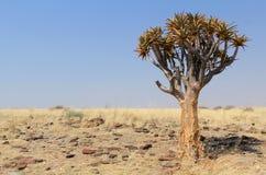 Fremi l'albero (dichotoma dell'aloe) nel deserto di Namib Immagini Stock Libere da Diritti