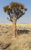 Fremi l'albero (dichotoma dell'aloe) nel deserto di Namib Immagine Stock