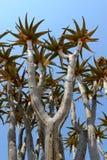 Fremi l'albero (dichotoma dell'aloe) nel deserto di Namib Fotografie Stock