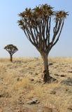 Fremi l'albero (dichotoma dell'aloe) nel paesaggio del deserto di Namib Fotografie Stock