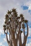 Fremi l'albero o il dichotoma contro un cielo nuvoloso, Namibia dell'aloe di Kokerboom Immagine Stock