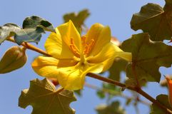 Fremontodendron mexicanum Royalty Free Stock Images