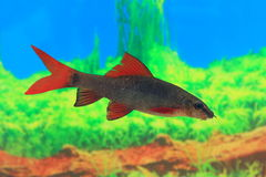 Frenatum Epalzeorhynchos Να επιπλεύσει ψάρια Στοκ Εικόνα