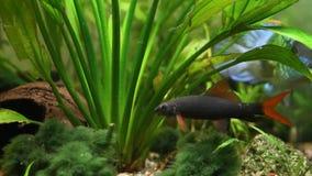 Frenatus de Epalzeorhynchos, labeo verde, pescado de agua dulce del limpiador, nadando en acuario de la naturaleza, cantidad suba almacen de video