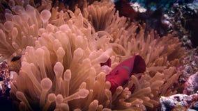 Frenatus die van tomaten anemonefish Amphiprion uit zijn anemoon gluren stock videobeelden