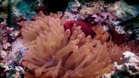 Frenatus die van tomaten anemonefish Amphiprion uit zijn anemoon gluren stock footage