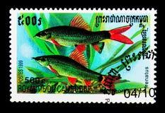 Frenatus Epalzeorhynchos акулы радуги, serie рыб, около 1999 Стоковое Изображение RF