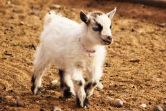 French Alpine Goat Baby. Photo of a female french alpine goat baby with a pink collar Stock Photos