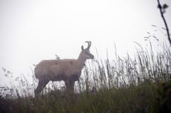French alps Chamois in fog Stock Photography