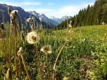 French Alps with dandelions Royalty Free Stock Photos