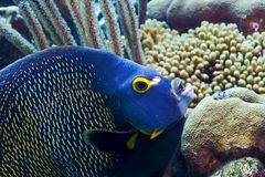 French angel fish. Looking for food on coral reef Royalty Free Stock Images