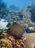 French Angel Fish Royalty Free Stock Image