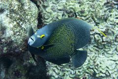 French angel fish looking at you royalty free stock photos