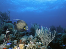 French Angel Reef. French Angel fish hoovering near a sea whip on a shallow Belize reef Stock Photos