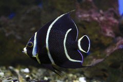French angelfish Royalty Free Stock Photos