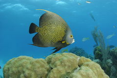 Free French Angelfish Royalty Free Stock Images - 12247279