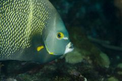 French Angelfish Stock Photography
