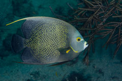 Free French Angelfish Royalty Free Stock Image - 15413146