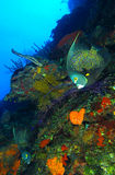 French angelfish. Underwater view of French angelfish swimming over colorful coral reef in sea royalty free stock photos
