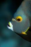 French Angelfish. Headshot Royalty Free Stock Images