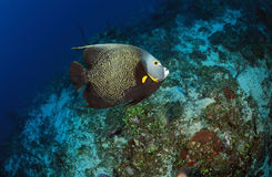 French Angelfish. A French Angelfish, Pomacanthus paru, swimming underwater stock photos