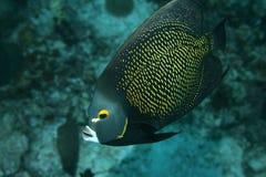 French Angelfish stock photography