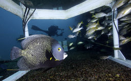French Angelfish - Aquarius Habitat. A French Angelfish, Pomacanthus paru, swims in front of the camera and directly under the transfer trunk that is the diver's stock image
