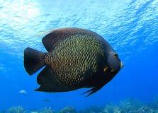 French Angelfish, Bonaire Royalty Free Stock Photo