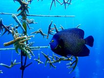 French Angelfish Bonaire in coral nursery royalty free stock images