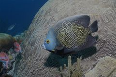 French Angelfish - Bonaire, Netherlands Antilles. French Angelfish Pomacanthus paru swimming next to a Brain Coral - Bonaire, Netherlands Antilles royalty free stock photography