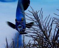 French Angelfish Bonaire stock photo