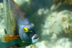 French Angelfish. Close-up shot of the french angelfish. Shallow focus. Riveiera Maya stock photos