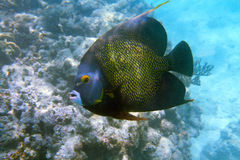 French Angelfish. Close-up shot of the french angelfish. Shallow focus. Riveiera Maya stock image