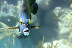 French Angelfish. Close-up shot of the french angelfish. Shallow focus. Riveiera Maya stock photography