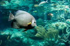 French Angelfish closeup Royalty Free Stock Photo