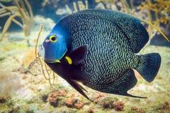 French Angelfish closeup. Closeup of beautiful French Angelfish in Caribbean sea royalty free stock photo